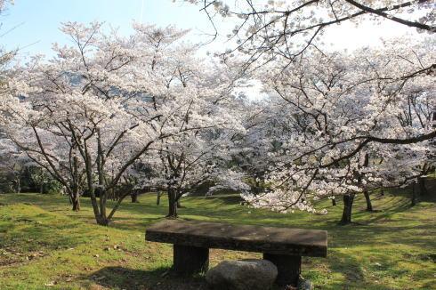 可部運動公園の桜、ピクニック広場は満開時 花園に!