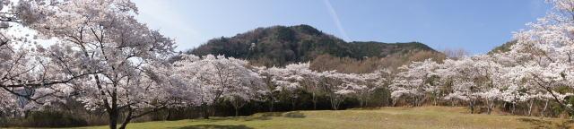 可部運動公園の桜 画像6