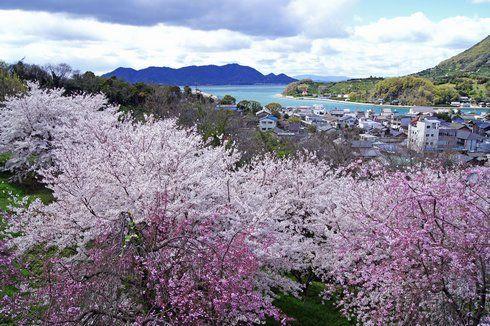 未来心の丘から見える 2色の桜