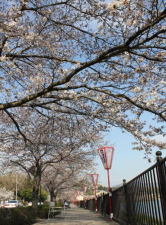 桜 上野公園の画像2