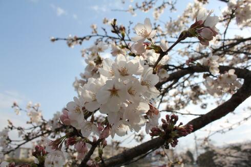 広島県内の桜、2014年は南部も北部もほぼ同時に見ごろ