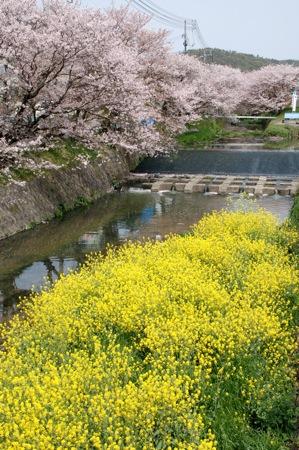 尾道 桜土手と菜の花