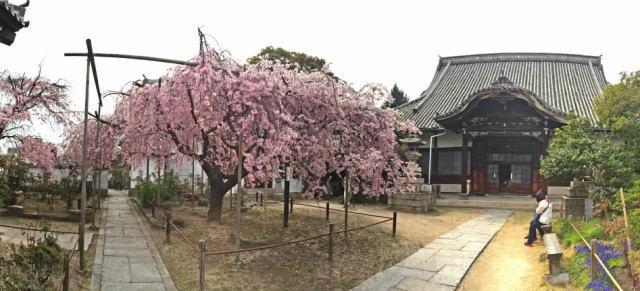 尾道 天寧寺 しだれ桜の画像5