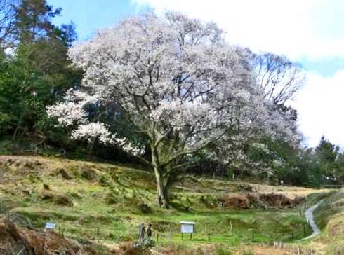 宿根の大桜(すくねのおおざくら)、竹原の重要文化財へ