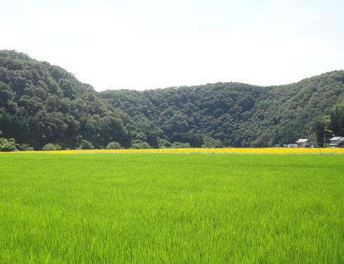 君田ひまわり畑 画像2