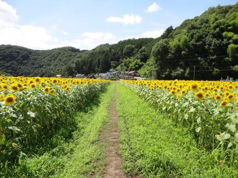 君田ひまわり畑 画像4