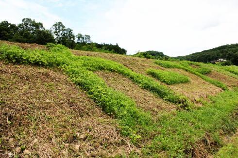 三次 カープの草刈りアート 画像3