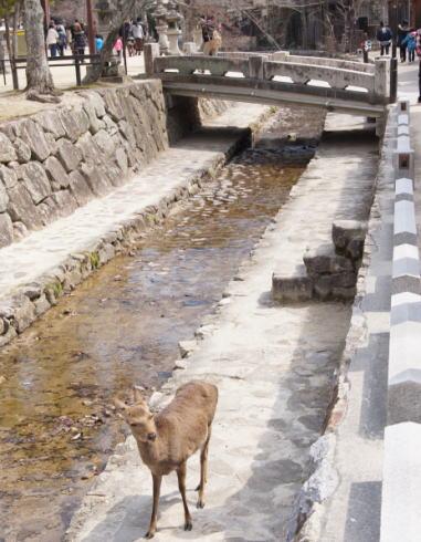 宮島の鹿 水辺