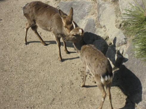 宮島の鹿 グルーミング