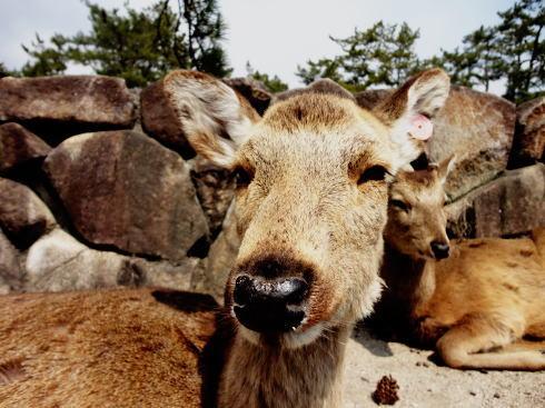 宮島の鹿 カメラ目線2