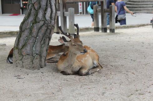 宮島の鹿 眠い