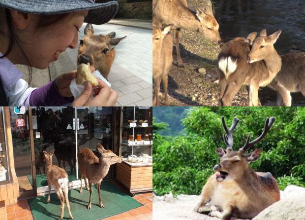 人懐こくて可愛い、宮島の鹿コレクション!