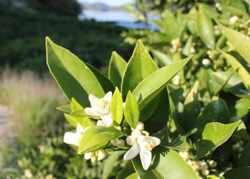高根島とみかんの花