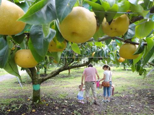 平田観光農園 ちょうど狩り 梨をゲット2