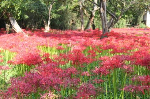 辻彼岸花群生地、燃えるように咲く真っ赤なヒガンバナ