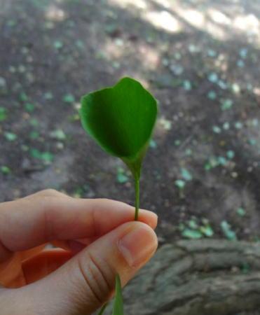三次 香淀の大イチョウ ラッパ状の葉画像