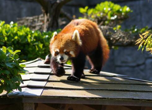 落ちない!レッサーパンダの「運」にあやかった合格しおり、安佐動物園から