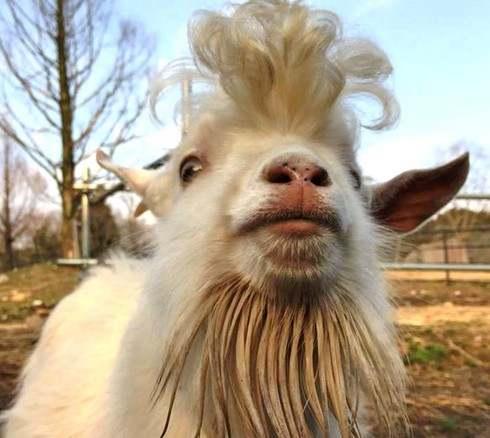 秋吉台サファリランドのダンディーすぎるヤギ、「かまぼこ」が話題