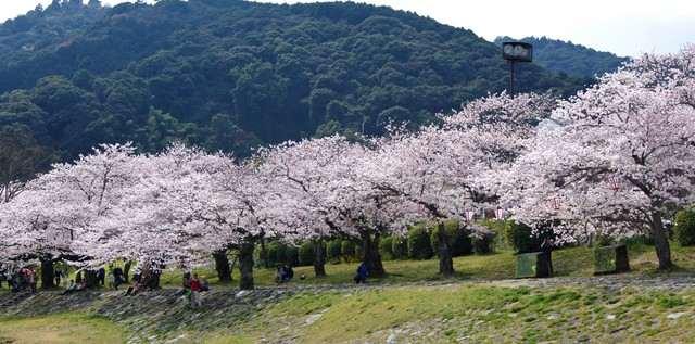 錦帯橋、川沿いも桜並木が続く