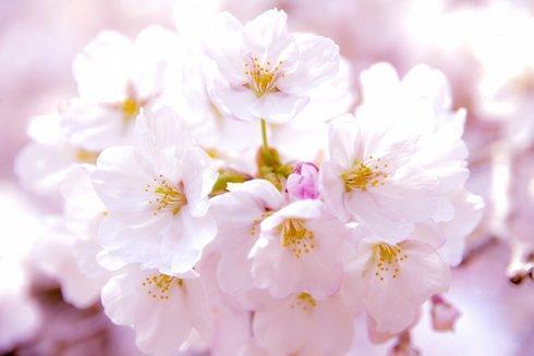 お花見用に県立教育センターを開放、東広島の桜スポット