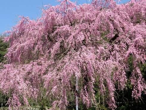 枝垂桜、廿日市市宮内のピンクの桜