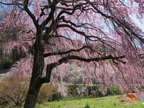 廿日市市宮内の枝垂桜