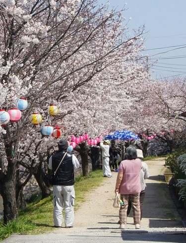宮内交番そば、川沿いの桜並木
