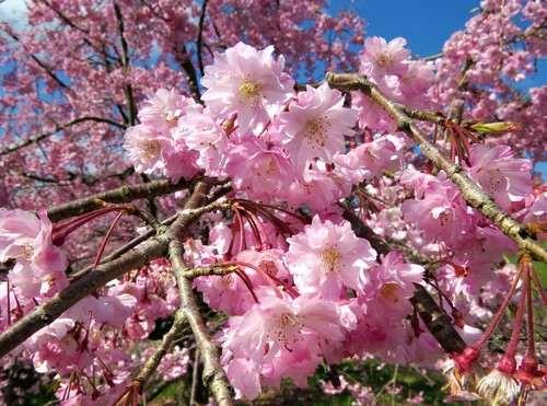 アルカディアビレッジの桜