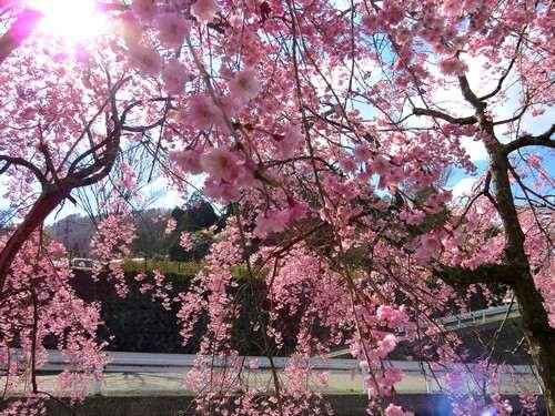 極楽寺山やアルカディアビレッジの枝垂れ桜が、ハラハラと