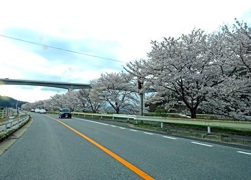 馬洗川沿いの桜 画像2