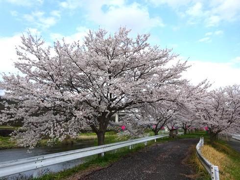 馬洗川沿いの桜 画像3