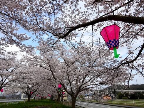 馬洗川沿いの桜 画像4