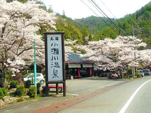 小瀬川温泉 桜の様子