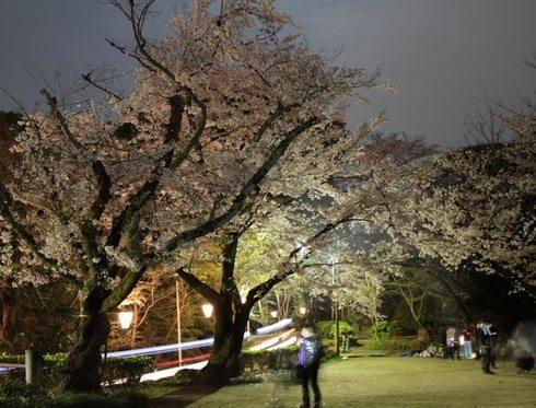 比治山公園 夜桜 画像3