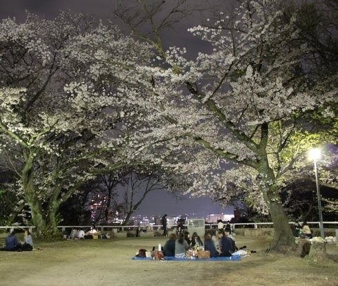 広島・比治山公園で夜桜、やさしいボンボリ灯りの下で