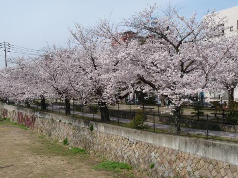 二河川沿い 桜の様子