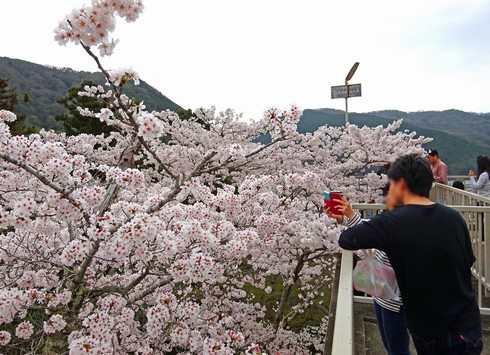 尾関山公園の桜 画像4