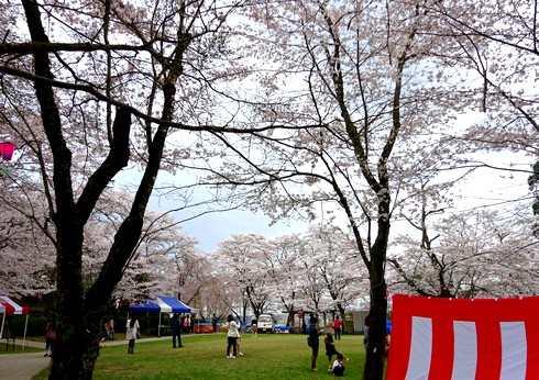 尾関山公園の桜 画像8