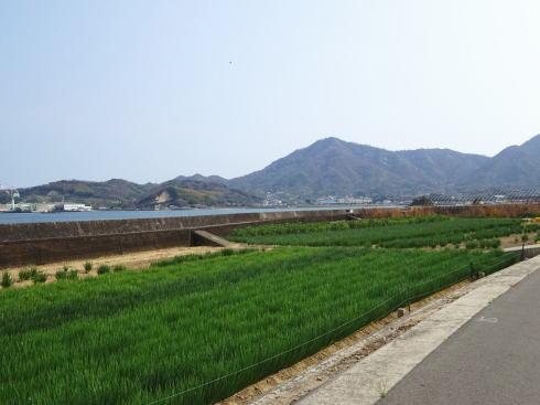 佐木島 ネギの風景