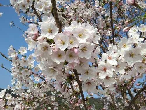 佐木島 塔の峰千本桜 画像9
