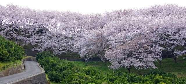 圧巻!塔の峰千本桜、桜の楽園 佐木島で