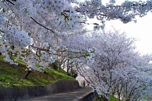 佐木島 塔の峰千本桜 画像8