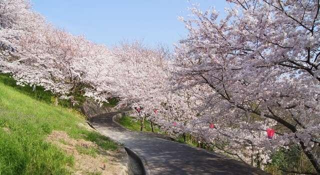佐木島 塔の峰千本桜 画像2