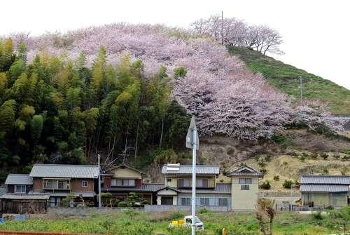 佐木島 塔の峰千本桜を俯瞰してみた様子