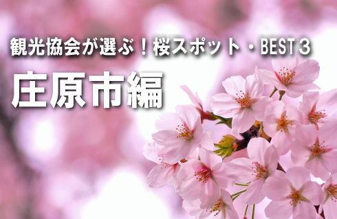 【庄原市編】観光協会が選ぶ、桜スポットBEST3