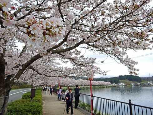 さくら名所100選、庄原 上野公園が見ごろ迎える