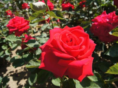 バラの香りに包まれる 福山ばら公園、2015も見ごろへ
