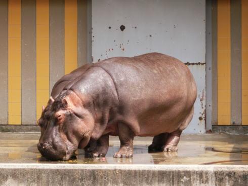 安佐動物公園 再整備計画 カバ