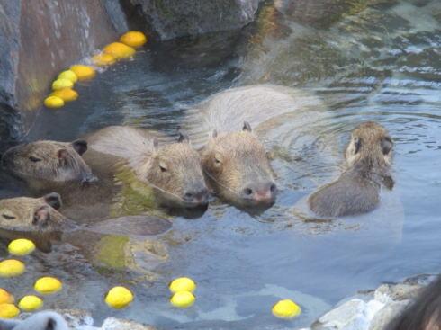 安佐動物公園 再整備計画 カピバラ