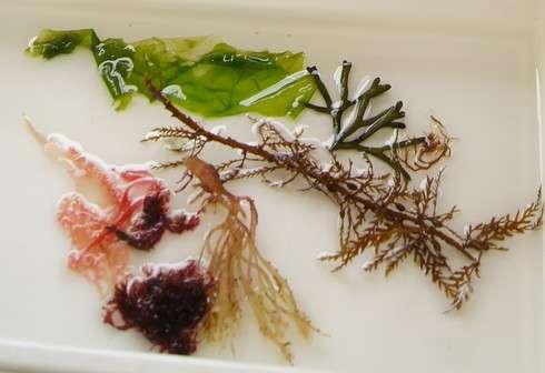 水産研究所で押し海藻ハガキを作る